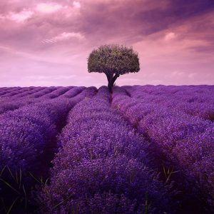A field of lavender with a tree in the distance.