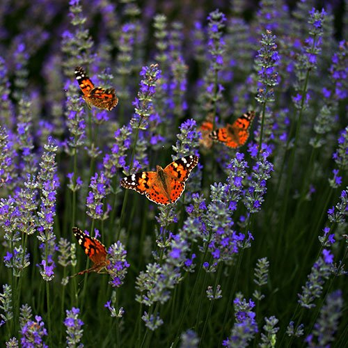 Four orange-red butterflies sitting on blooming lavender flowers.